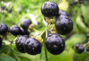 Санберри полезные свойства и противопоказания